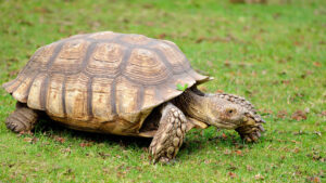 How To Raise An African Spur Thigh Tortoise