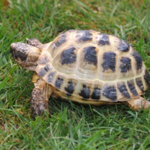 horsefield tortoise care information