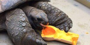 Can Horsefield Tortoises Eat Butternut Squash