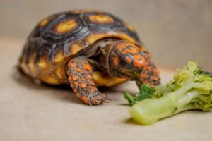 Can Hermann Tortoise Eat Arugula