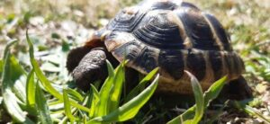 Can Hermann Tortoise eat Aloe Vera