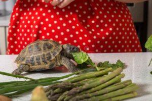 Can Hermann Tortoises Eat Asparagus
