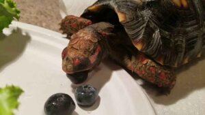 Can Hermann Tortoises Eat Blueberries