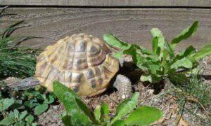 Can Hermann Tortoises eat Basil