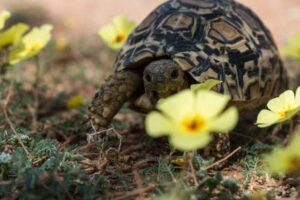 Can Hermann Tortoises eat Buttercups