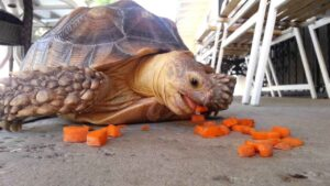 Can Hermann Tortoises eat Carrots