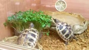 Can Hermann Tortoises eat Cress