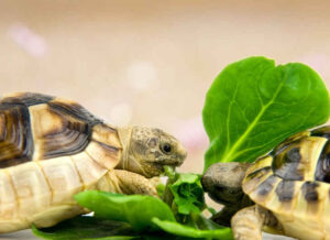 Can Hermann Tortoises eat Curly Kale
