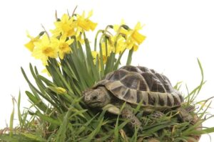 Can Hermann Tortoises eat Daffodils