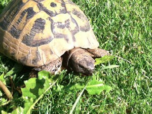 Can Hermanns Tortoises eat Cabbage