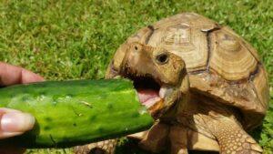Can Hermanns Tortoises eat Cucumber