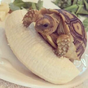 Can Horsefield Tortoise Eat Banana