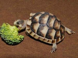 Can Horsefield Tortoise Eat Broccoli