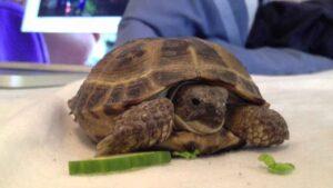 Can Horsefield Tortoise Eat Cucumber