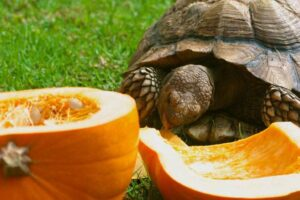 Can Horsefield Tortoise Eat Pumpkin