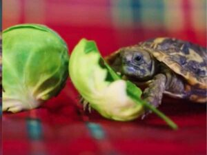 Can Horsefield Tortoise Eat Sprouts