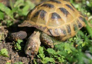 Can Horsefield Tortoise Eat Tomatoes