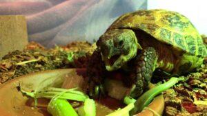 Can Horsefield Tortoise eat Celery