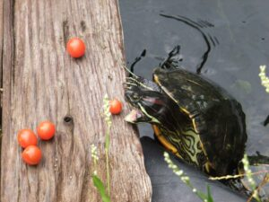 Can Red-Eared Slider Turtles eat Tomatoes