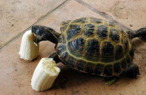 Can Tortoises eat Bananas