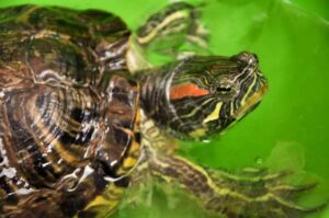 Do Red Eared Slider Turtles eat Worms