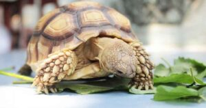 can hermann tortoises eat brussel sprouts