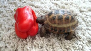 can hermanns tortoises eat bell peppers