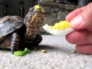 Can horsefield tortoises eat boiled eggs?