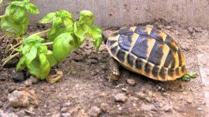 Can Horsefield Tortoises Eat Basil