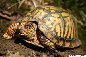 Can horsefield tortoises eat box turtles?