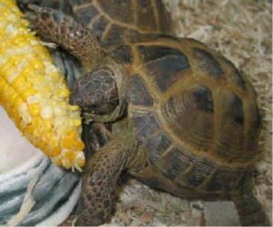 can horsefield tortoises eat baby corn