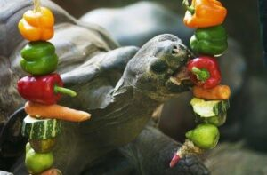 can horsefield tortoises eat bell peppers read here