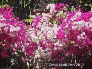 Can horsefield tortoises eat bougainvillea flowers?