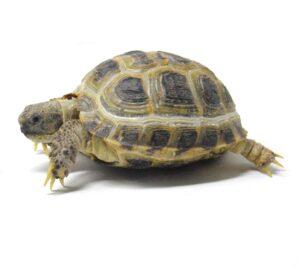 Can A Horsefield Tortoise Eat Acorns