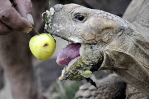 Can A Horsefield Tortoise Eat Apple