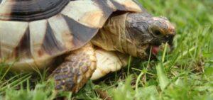 Can A Horsefield Tortoise Eat Artichoke