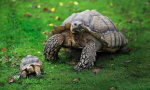 Can A Horsefield Tortoise Eat Avocado