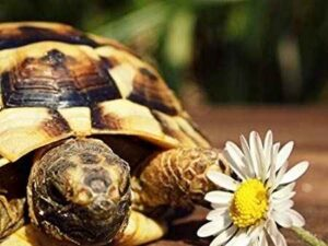 Can Hermann Tortoises eat Daisies