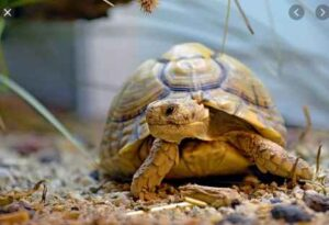 Can Horsefield Tortoise Eat Agave
