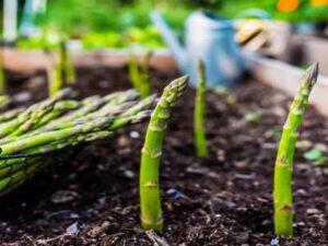 Can Horsefield Tortoise Eat Asparagus