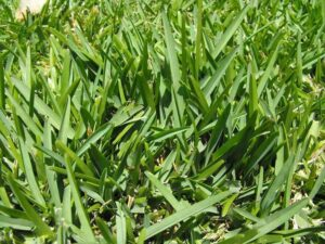Can Horsefield Tortoise Eat Augustine Grass