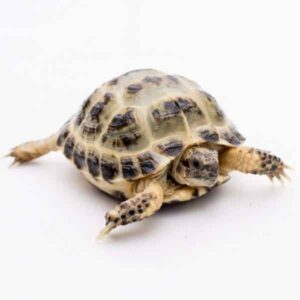 Can Horsefield Tortoise Eat Axis